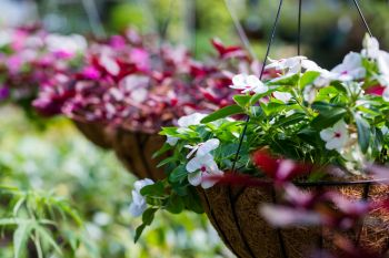 Plant up an edible hanging basket