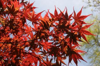 APRIL – HTA PLANT OF THE MOMENT THE MAGIC OF MAPLES