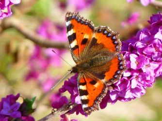 Gardeners may be able to help reverse the decline in butterfly populations